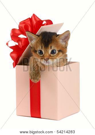 Cute Somali Kitten In A Present Box