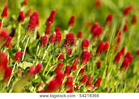 Crimson clover