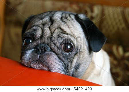 pug with sad eyes