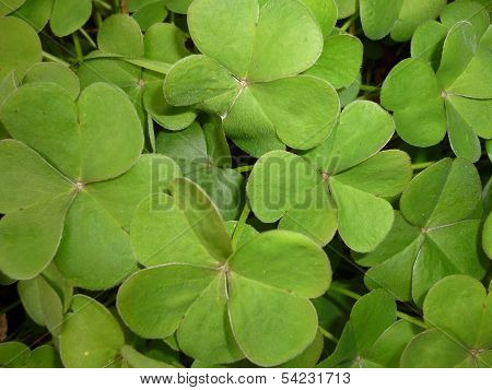 leaves similar to four leaf clovers