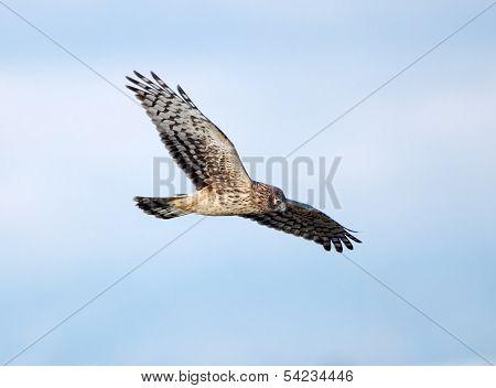 Northern Harrier in Flight, Marsh Hawk