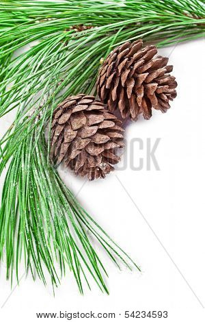fir tree branch with pine cones closeup on white background