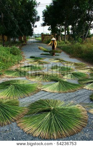 People Dry Rush (sedge)  In Sector Shape