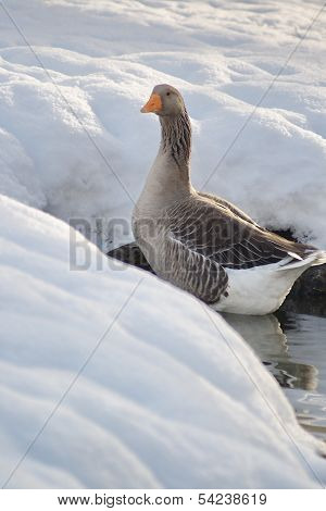 Graylag Goose From Rear View