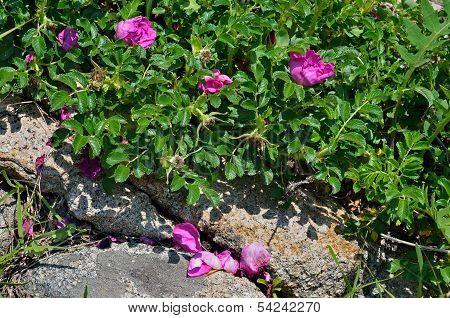 Blooming Brier