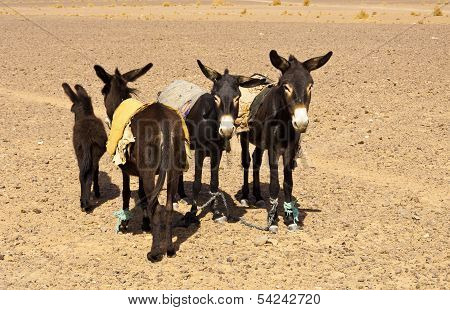 Four donkeys in the desert