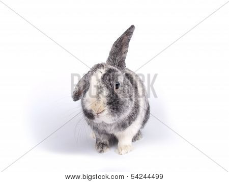 Cute Six Year Old Crossbreed Of A Holland Lob And A Flemish Giant (oryctolagus Cuniculus) With One L