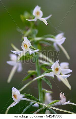 Orchid Platanthera