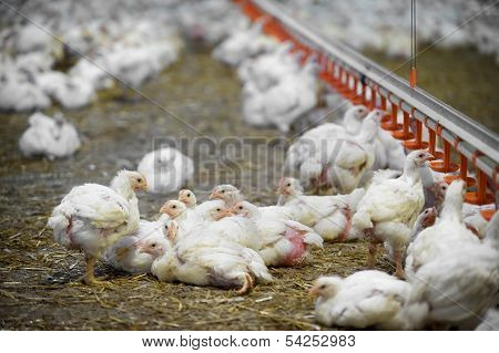 Inside A Poultry Farm