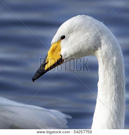 A Portrait of a Whooper Swan (Cygnus cygnus)
