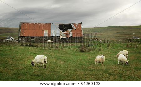 Sheep And Old Barn