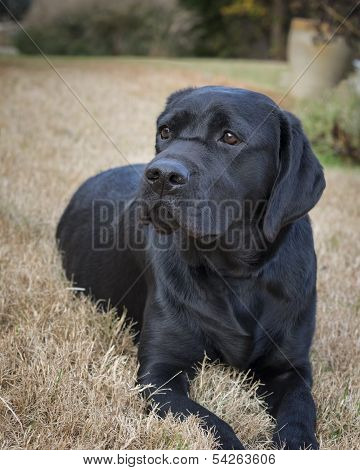 Portrait Of A Young Female Labrador Retriever