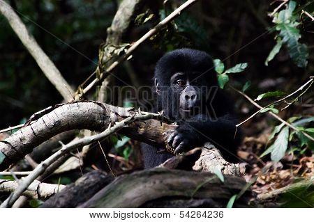 Baby Gorilla in the Bwindi national park rainforest, Uganda