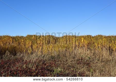Elephant Grass And Brambles