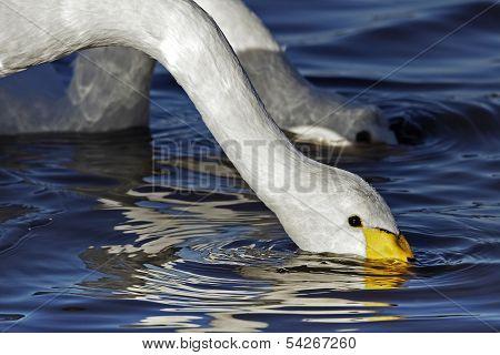 An adult Whooper Swan (Cygnus cygnus)feeding.