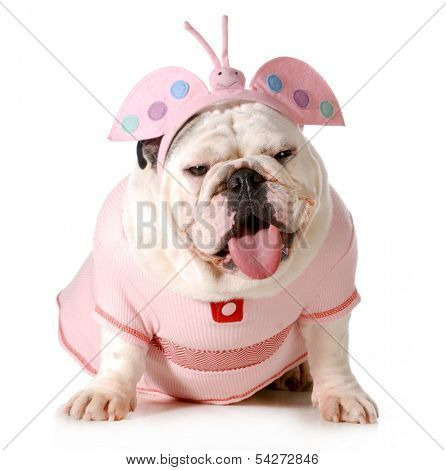 cute puppy - english bulldog female wearing cute costume isolated on white background