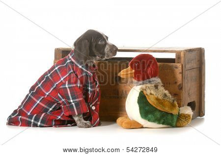 hunting dog - german shorthaired pointer wearing plaid shirt sitting beside stuffed duck isolated on white background - 7 weeks old
