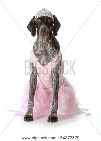 spoiled dog - german shorthaired pointer dressed up like a princess isolated on white background