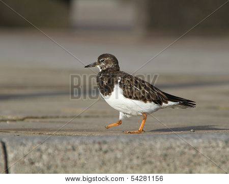 Turnstone with damaged foot.