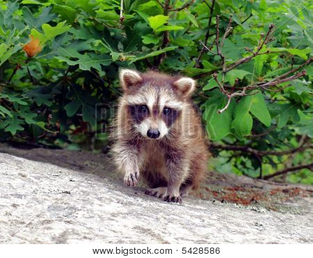 Lone Raccoon