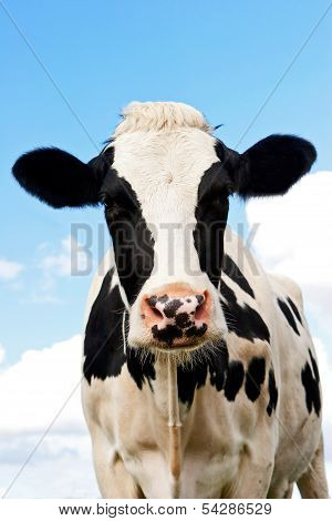 Cow In A Grassland In Northern Of Germany