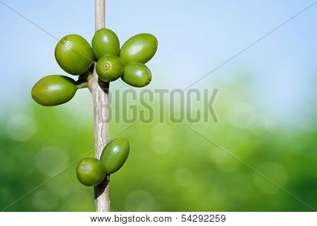 Unripe Coffee Beans On The Branch