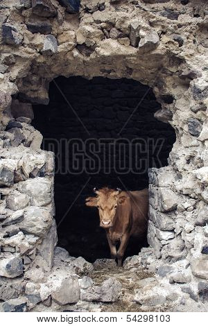 Cows in old castle, Georgia