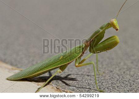 Praying Mantis On The Floor