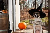 pic of pitbull  - A cute dog trick or treating on Halloween - JPG