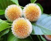 foto of bangladesh  - Neolamarckia cadamba or Kodom flower of Bangladesh - JPG