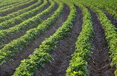 stock photo of potato-field  - Potato field in the early evening sunlight - JPG