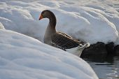 pic of snow goose  - Greylag Goose in a pond rear view - JPG