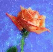 stock photo of blue rose  - abstraction background with rose - JPG