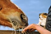 foto of feeding horse  - Farm life - JPG