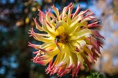 pic of bumble bee  - Cactus dahlia  - JPG