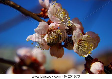 Closed Up Of Cherry Blossom