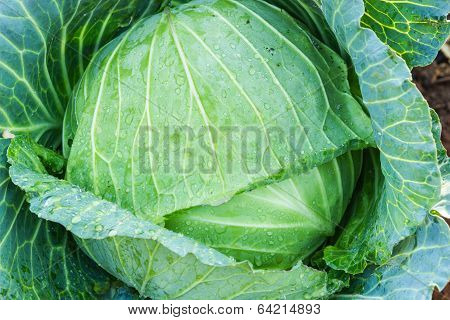Collard Background And Texture