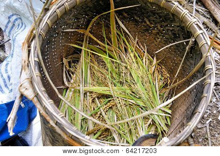 Ripe ears of rice collected in a wicker basket. Philippines.