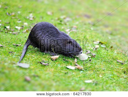 Muskrat On A Green Grass