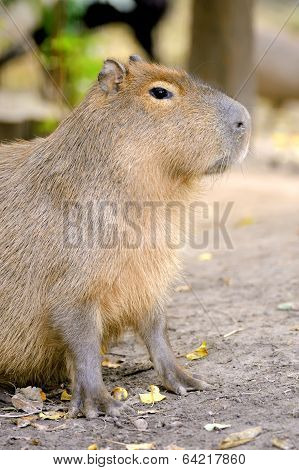 Closeup Of A Young Capybara