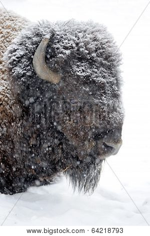 Bison Portrait In Winter