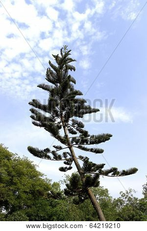 A slanting and tapering christmas tree reaching for sky