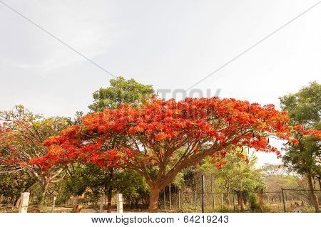 gulmohar tree on a sunny afternoon with its dazzling bright orangish red flowers
