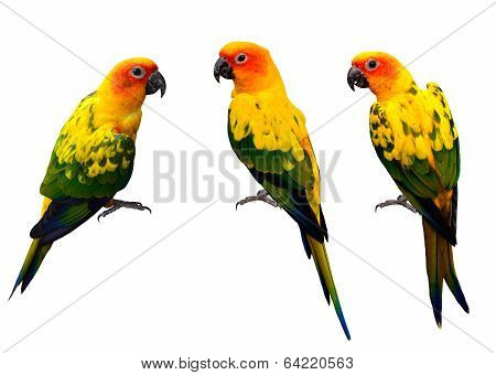 Beautiful Sun Conure, The Colorful Yellow Parrot Birds Isolated On White Background