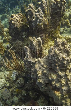 Coral Encrusting Sponge