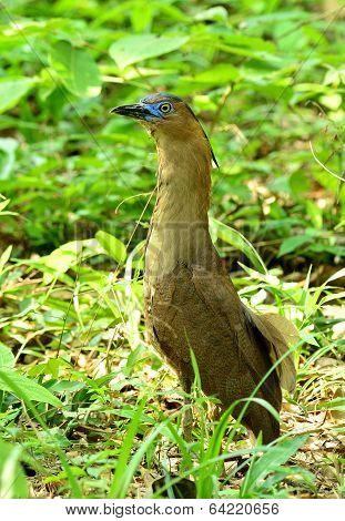 Beutiful Malayan Night Heron Bird With Very Nice And Sharp Blue Eyes