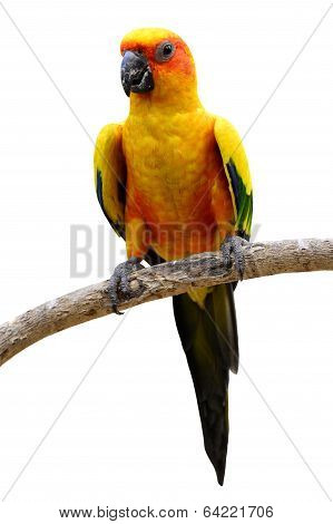 Sun Conure, The Beautiful Yellow And Green Parrot Bird Perches On The Branch Isolated On White Backg