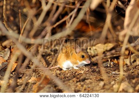field mouse in natural habitat