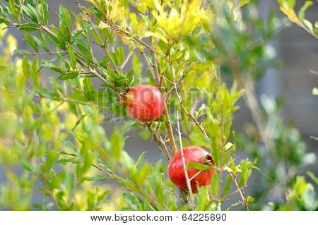 Ripening on the branch