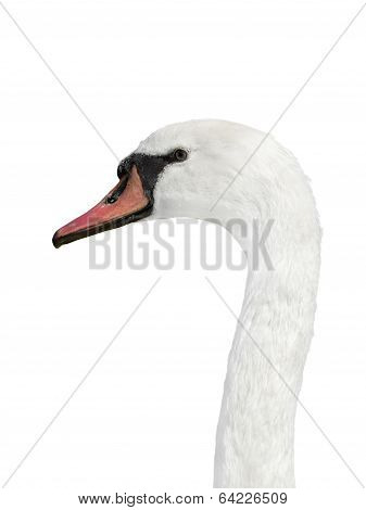 Portrait of a female white swan - isolated